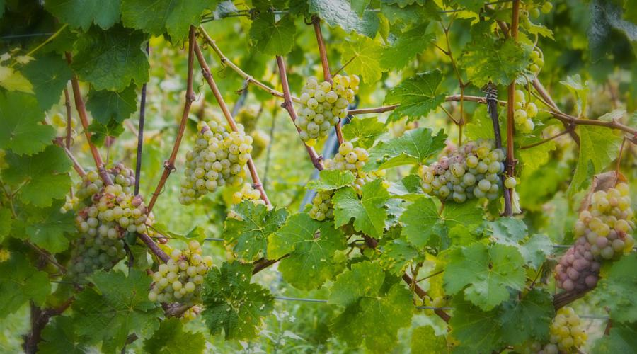 Druiven - wijn - moezelwijn