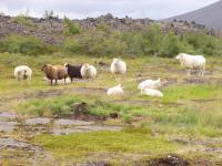 ijslandse paardjes - www.deglobetrotter.be
