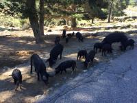 plaatselijke bewoners - everzwijnen - onderweg in Corsica