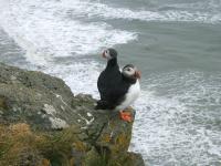op de kliffen  meer dan 200.000 papegaaiduikers - www.deglobetrotter.be