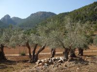 Mallorca- olijven