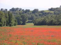 Een veld vol mooie klaprozen!